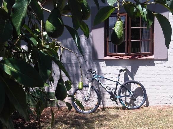 Celia_and_the_avocado_tree