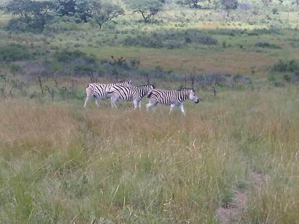 Zebras_1