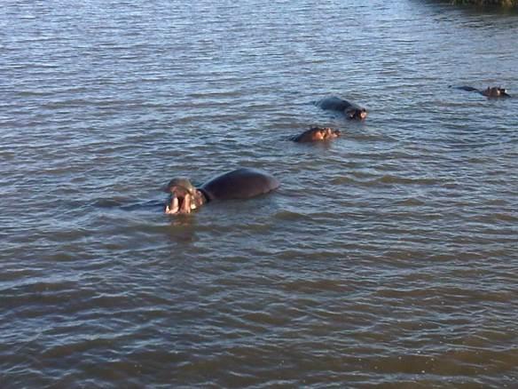Hippos_1